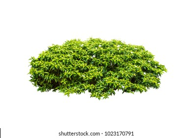 tropical plant flower  bush tree isolated on white background with clipping paths
