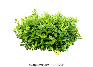 tropical plant green bush tree on white background on white background with clipping path