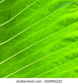 Tropical plant Green leaf Background texture