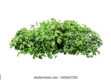 tropical plant isolated with clipping path on white background