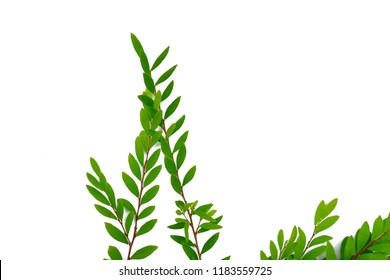 Tropical plant leaves with branches on white isolated background for green foliage backdrop