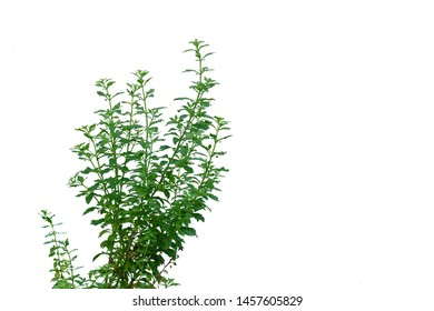 Tropical plant leaves growing in a garden on white isolated background for green foliage backdrop