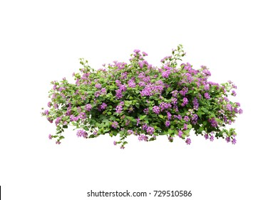 tropical plant purple flower bush tree isolated on white background with clipping path