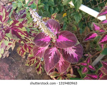 tropical plant with purple leaves in Puerto Rico