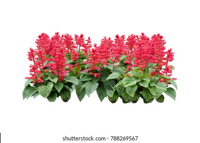 tropical plant red Flowers bush tree isolated on white background with clipping paths