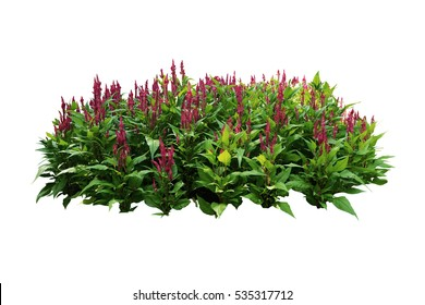 tropical plants flower bush tree pink color isolated white background