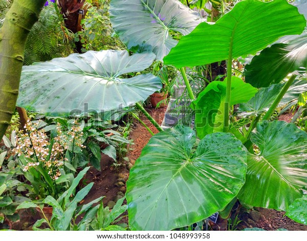 Tropical Plants Large Green Leaves Conservatory Stock Photo Edit