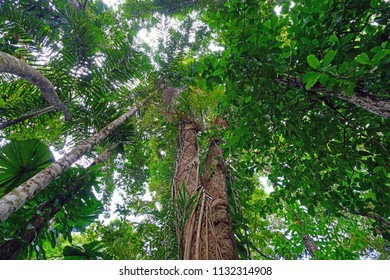 Tropical plants in the mangrove in the Daintree rainforest wet tropics area near Cape Tribulation, Far North Queensland, Australia