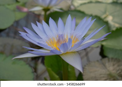 Tropical plants. Nymphea. One purple water lily. Close-up. The surface of the reservoir with leaves of aquatic plants.