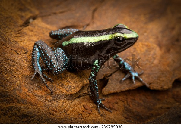 tropical poison frog Phyllobates aurotaenia from the Amazon rain forest of Colombia. A macro of a small poisonous amphibian from the rainforest. Toxic and dangerous animal.