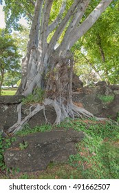 Tropical profile of a banyan tree and roots grown in lava boulders.