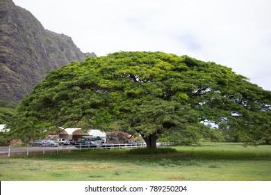 Tropical Rain Tree on Ranch in Hawaii