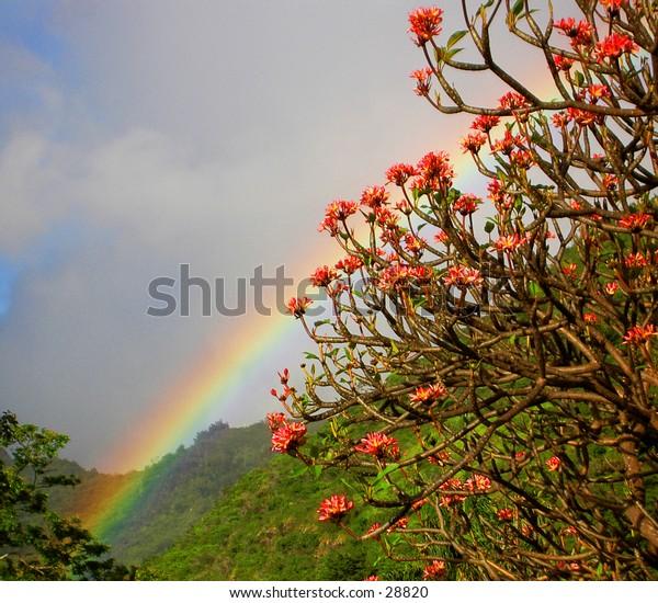 Tropical Rainbow: through the plumeria on a hillside in Manoa valley