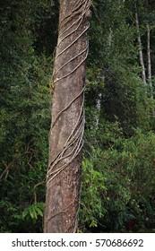 Tropical rainforest jungle vine wrapping around tree