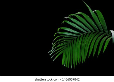 Tropical rainforest palm leaves foliage plant growing in wild isolated on black background.