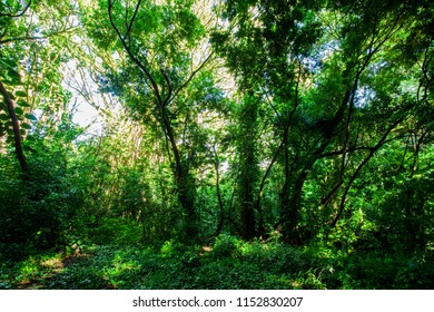 Tropical rainforest in the Pantanal Wetlands, Amazonia, Brazil