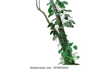 Tropical rainforest tree trunk with climbing vine plants philodendron, syngonium, forest orchid, fern and moss. Tropic leaves foliage plants growing on jungle tree isolated on white with clipping path