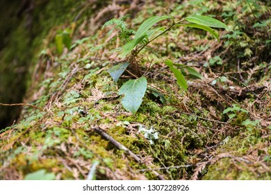 Tropical Rainforest Wood In Alishan National Scenic Area, Taiwan. Moss. The Alishan National Scenic Area Is Mountain Resort And Nature Reserve. Image For Templates, Placards, Banners. Etc