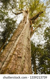 Tropical Rainforest Wood In Alishan National Scenic Area, Taiwan. The Alishan National Scenic Area Is Mountain Resort And Nature Reserve. Image For Templates, Placards, Banners. Etc