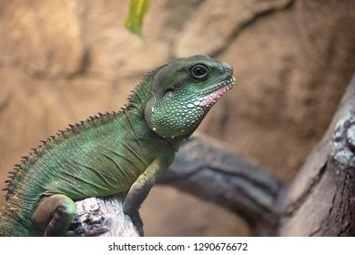 A tropical and rare lizard that feeds on insects. Reptiles animals