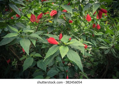 Tropical Red Hibiscus Flower Buds On Stock Photo Edit Now