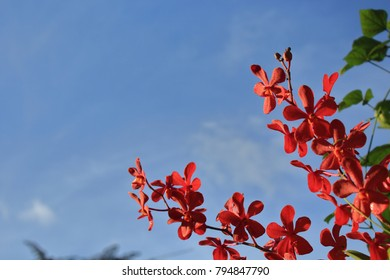 Tropical red orchid flowers against a clear blue sky on a sunny morning.