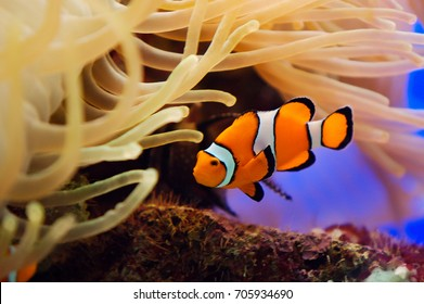 Tropical reef fish. Beautiful red clownfish macro