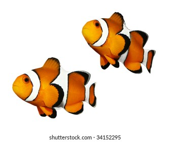 Tropical reef fish - Clownfish (Amphiprion ocellaris) - isolated on white background