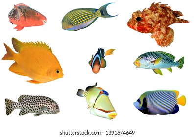 Tropical reef fish of Indian and Pacific Ocean. Isolated cutouts on white background