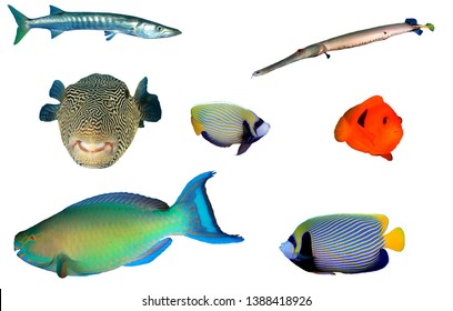 Tropical reef fish isolated. Barracuda, Trumpetfish, Puffer fish, Emperor Angelfish, Clownfish, Parrotfish on white background
