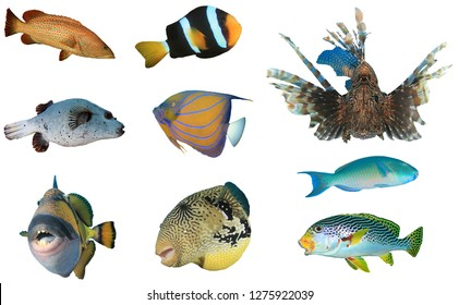 Tropical reef fish isolated on white background. Grouper, Clownfish, Lionfish, Puffer, Angelfish, Parrotfish, Triggerfish and Sweetlips