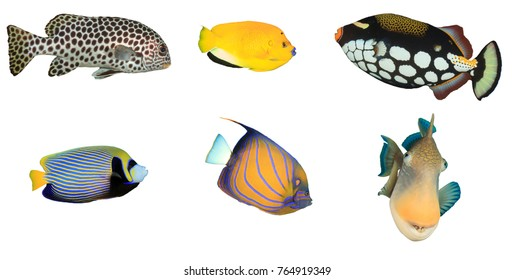 Tropical reef fish isolated on white background. Sweetlips, angelfish, triggerfish