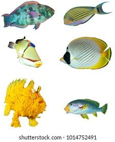Tropical reef fish isolated white background. Parrotfish, surgeonfish, Picassofish, Butterflyfish, Frogfish, Sweetlips