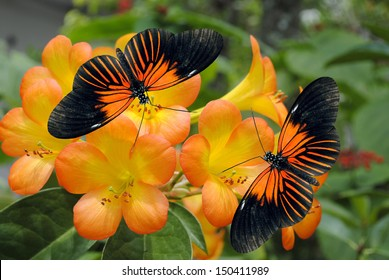 Tropical Rhododendron simbu sunset flowers with 2 Doris Longwing Butterflies