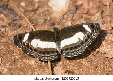 tropical Sailer butterfly (genus Neptis) in Budongo Forest, Uganda