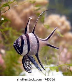 Tropical sea fish - Pterapogon kauderni