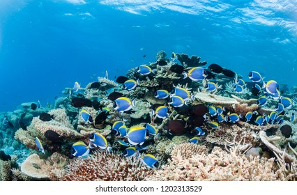 Tropical seascape with a school of surgeon fish swimming over hard corals, Indian Ocean, The Maldives.