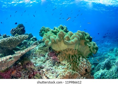 Tropical seascape with soft coral - sarcophyton on the coral reef