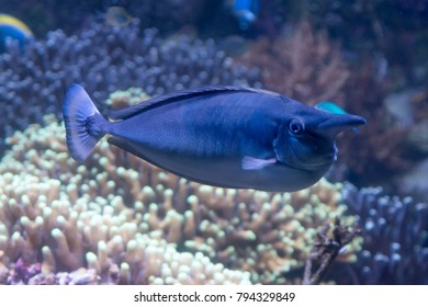 tropical short nosed blue unicornfish naso brevirostris swimming in the sea