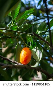 Tropical small ripe orange citrus fruits kumquats on tree, close up, ready to harvest