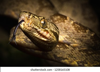 tropical snake, tree boa Corallus hortulanus a serpent of the Amazon rain forest in Colombia, Brazil and Ecuador. Close up of head and flicking tongue