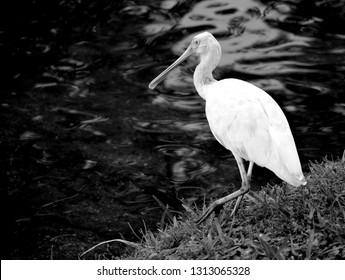 Tropical Spoonbill bird in the wild by the water's edge Florida, USA
