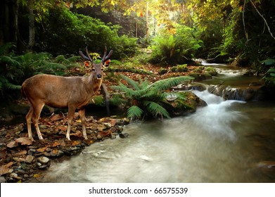 tropical stream and sambar deer