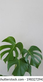 tropical theme - monstera leaf - flatlay photography. White background with space for text