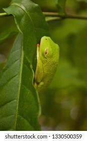 Tropical tree frog in Costarica sleeping on the leaf