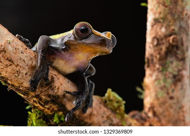 tropical tree frog on branch at night in Amazon rain forest of Brazil.