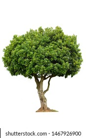 Tropical tree isolated on white background with clipping path.