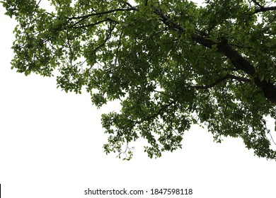 Tropical tree leaves and branch foreground isolated on white background with clipping path