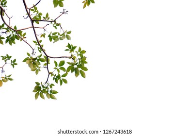Tropical tree leaves with branches growing in botanical garden on white isolated background for green foliage backdrop