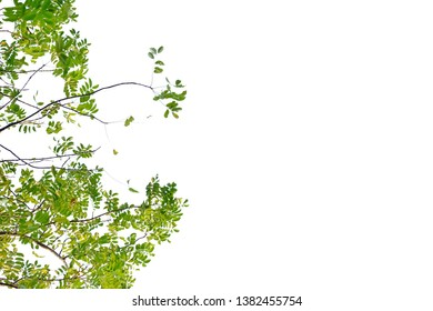 Tropical tree leaves with branches growing in a garden on white isolated background for green foliage backdrop